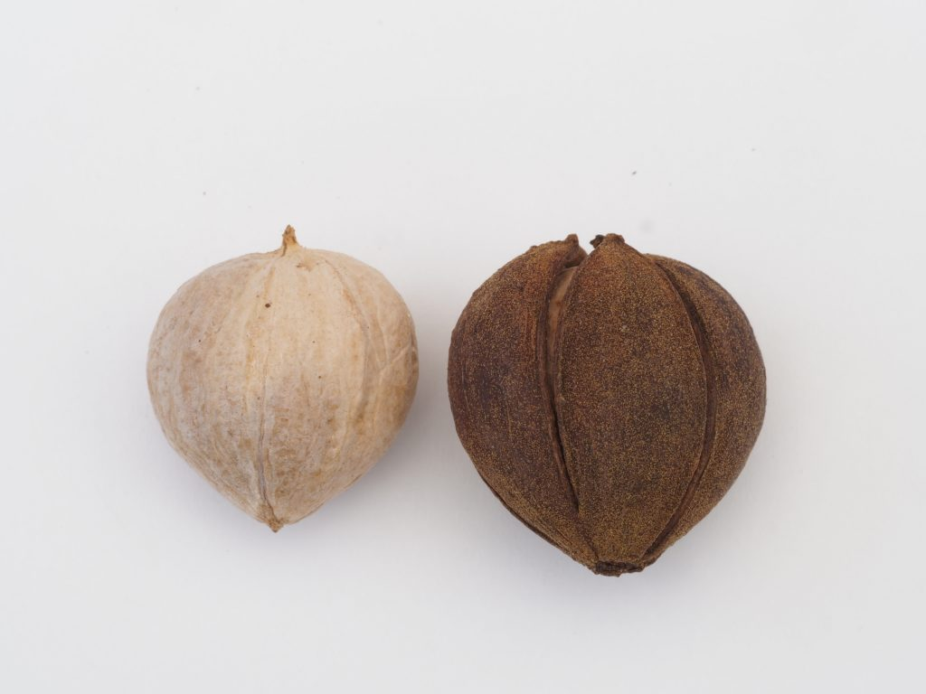 Pignut Hickory nuts have thin husks that split ¾ of the way down. The heart-shaped nut is thick-walled.