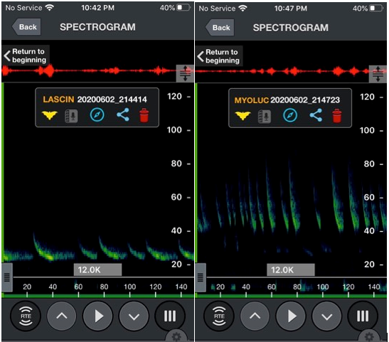 Echolocation calls of Hoary Bat on left and Little Brown Myotis on right. These were recorded and displayed on a cell phone using a small bat-detector. Note the calls are green in kHz, the waveform is in red and the time on the green band is in milliseconds. Provided by Mary Gartshore